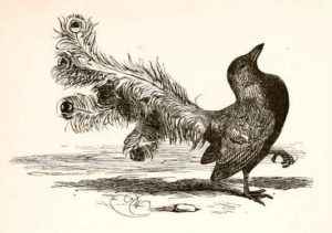 Harrison Weir's illustration of The Vain Jackdaw (1881), a bird beautified with the feathers of other birds.